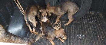 Após denúncia de maus tratos Vigilância Sanitária recolhe animais em Nova Santa Rosa