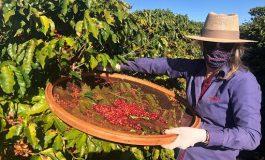 Mulheres do Oeste do Paraná se unem para produzir café especial
