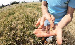 Cultivares de trigo estão disponíveis para avaliação dos cooperados Copagril