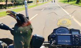 """Tucano """"pega carona"""" em motocicleta da Polícia Rodoviária Federal"""
