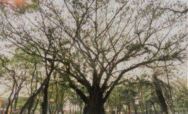 Árvore cinquentenária da Praça Willy Barth é aprovada como patrimônio histórico