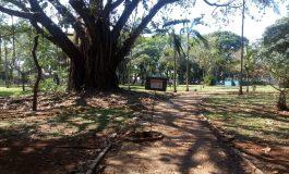 Poda e antifúngico tentam salvar falsa-seringueira da Praça Willy Barth, em Marechal Rondon