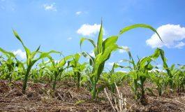 Boletim agropecuário registra avanço no plantio de milho