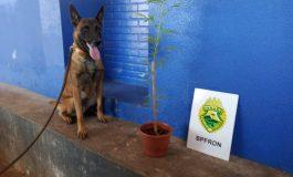BPFron aprende pé de maconha em Marechal Cândido Rondon